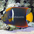 Passer Angelfish Adult (click for more detail)