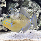 Caribbean Queen Triggerfish Adult  (click for more detail)