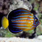 Blueline Angelfish  (click for more detail)
