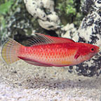 Tono's Fairy Wrasse Terminal Phase Male (click for more detail)