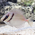 Bluelined Rabbitfish (click for more detail)