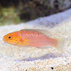 Philippines Lunate Fairy Wrasse Initial Phase (click for more detail)