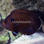 Bluefin Angelfish [Blemish] (click for more detail)
