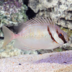 Two Barred Rabbitfish  (click for more detail)