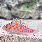 Coral Hawkfish (click for more detail)