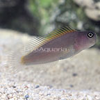 Blue Head Combtooth Blenny (click for more detail)