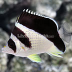 Burgessi Butterflyfish (click for more detail)