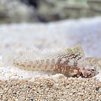 Caribbean Sailfin Blenny  (click for more detail)