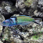 Bluehead Wrasse Terminal Phase Male (click for more detail)