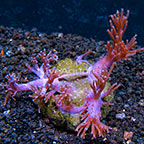 Cespitularia Coral Africa (click for more detail)