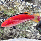 Vanuatu Condei's Fairy Wrasse Terminal Phase Male (click for more detail)