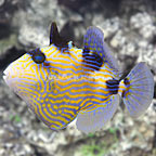 Blueline Triggerfish Changing (click for more detail)