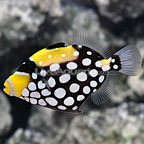 Clown Triggerfish (click for more detail)