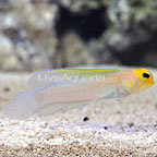 Florida Keys Pearly Jawfish  (click for more detail)