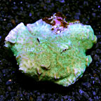 Merulina Coral Fiji (click for more detail)
