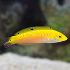 Yellow and Purple Wrasse Juvenile (click for more detail)