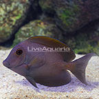 Orange Stripe Bristletooth Tang (click for more detail)