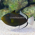 Pinktail Triggerfish  (click for more detail)