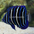 Chrysurus Angelfish Juvenile (click for more detail)