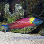 Paddlefin Wrasse Male (click for more detail)