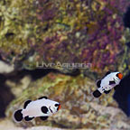 ORA® Captive-Bred Black Frostbite Ocellaris Clownfish (Bonded Pair) (click for more detail)