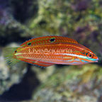 Ornate Wrasse Initial Phase (click for more detail)