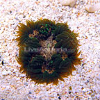 Caribbean Rock Flower Anemone Green/White Ultra (click for more detail)