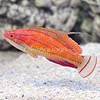 McCosker's Flasher Wrasse Terminal Phase Male (click for more detail)