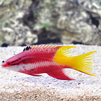Cuban Hogfish  (click for more detail)