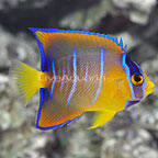 Caribbean Queen Angelfish Changing (click for more detail)