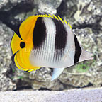 Double Saddle Butterflyfish (click for more detail)