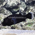 Black Dogface Puffer (click for more detail)