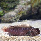 Ember Blenny (click for more detail)