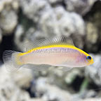 USA Captive-Bred Sunrise Dottyback (click for more detail)