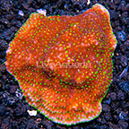 Tabling Acropora Coral Tonga (click for more detail)