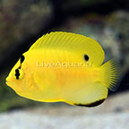 Flagfin Angelfish Juvenile (click for more detail)