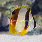 West African Three Banded Butterflyfish (click for more detail)