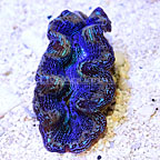 Indonesian Cultured Crocea Clam Blue (click for more detail)