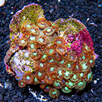 Houdini and Fire Cracker Colony Polyp Rock Zoanthus Indonesia IM (click for more detail)