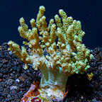 Sinularia Finger Leather Coral Tonga (click for more detail)