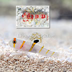 Orange Stripe Prawn Goby with Red Banded Snapping Shrimp (click for more detail)