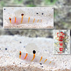 Orange Stripe Prawn Goby (Bonded Pair) with Red Banded Snapping Shrimp (click for more detail)