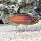 Golden Rhomboidalis Wrasse Terminal Phase Male (click for more detail)