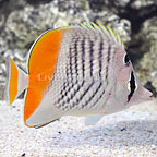 Seychelles Butterflyfish (click for more detail)