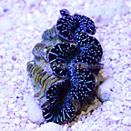 ORA® Cultured Ultra Black and Colored Maxima Clam (click for more detail)