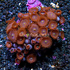 Red People Eater Colony Polyp Rock Zoanthus Indonesia IM (click for more detail)