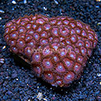 Purple Eyed Pinks Colony Polyp Rock Zoanthus Indonesia IM (click for more detail)