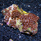 Sherbert and Peanut Butter Cups Colony Polyp Rock Zoanthus Indonesia IM (click for more detail)
