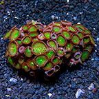 Green Implosion Colony Polyp Rock Protopalythoa Indonesia IM (click for more detail)