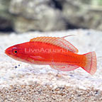 Blackfin McCosker's Flasher Wrasse Terminal Phase Male (click for more detail)